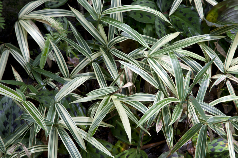 Long, Green Silver Peacock Ginger Leaves with White Stripes