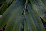 Long Leaves