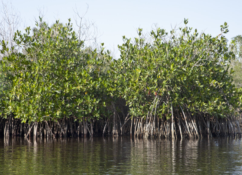 Long Mangrove Roots Submerged in Water at Halfway Creek in Everglades National Park