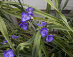 Long, Narrow, Green Leaves and Purple Flowers of a Spiderwort