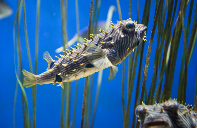 Long-Spine Pocupinefish Swimming in Tank