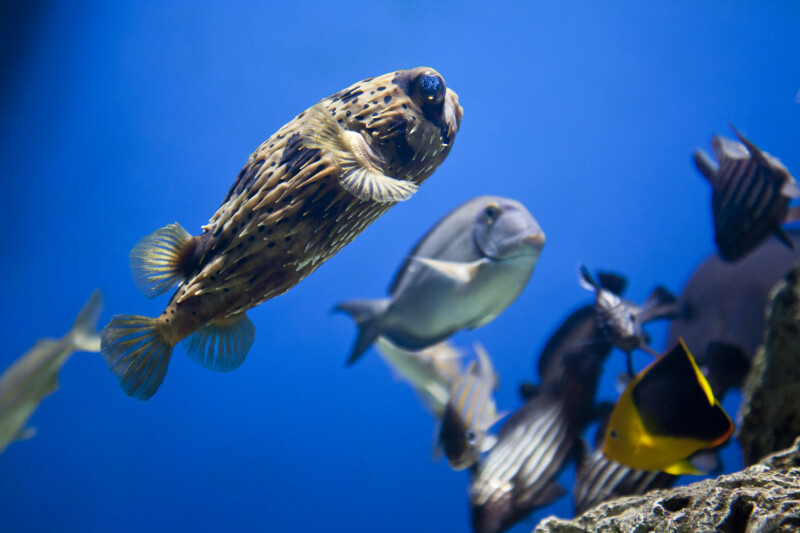 Long-Spine Porcupinefish Swimming Amongst Other Fish