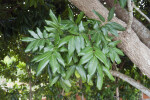 Longan Tree Clustered Leaves