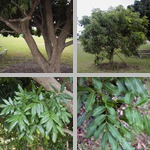 Longan Trees photographs
