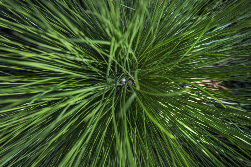 Longleaf Pine Berries and Needles