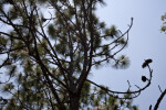 Longleaf Pine Branches