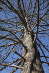 Looking up at Bald Cypress Branches