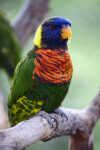 Lorikeet Close-Up