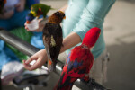 Lorikeet Feeding Time