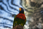 Lorikeet from Below