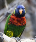 Lorikeet from Front