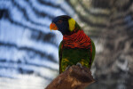 Lorikeet Looking Left