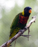 Lorikeet on Branch