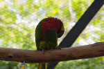 Lorikeet on Branch Grooming Itself
