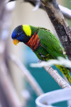 Lorikeet Squinting