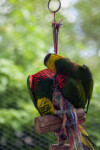 Lorikeets at Play