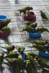 Lorikeets at Their Bowls