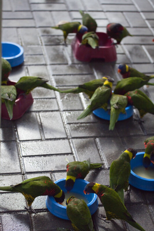 Lorikeets Eating