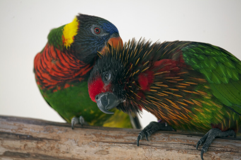 Lorikeets Grooming on a Branch
