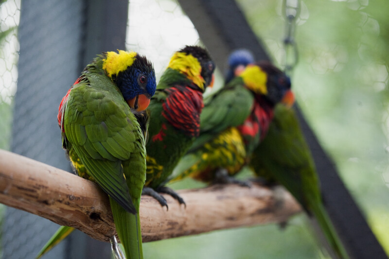Lorikeets on a Branch