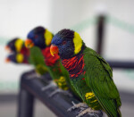 Lorikeets on a Rail