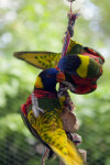 Lorikeets on a Rope
