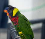 Lorikeets Perched on a Rail