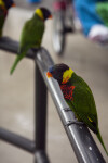 Lorikeets Sitting on a Rail