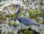 Louisiana (Tricolored) Heron