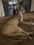Lying Bobcat