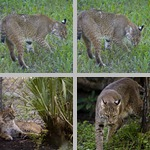 Lynxes photographs