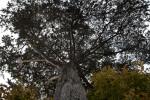 Macrocarpa Branches