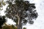 Macrocarpa Tree