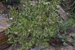 Madagascar Crassulaceae