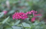 Magenta, Star-Shaped Flowers at the Washington Oaks Gardens State Park
