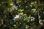 Magnolia at Capitol Park in Sacramento