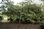 Magnolia Platypetala