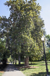 Magnolia Tree near Sidewalk at Capitol Park in Sacramento