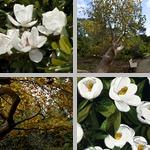 Magnolia Trees photographs