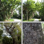 Mahogany Trees photographs