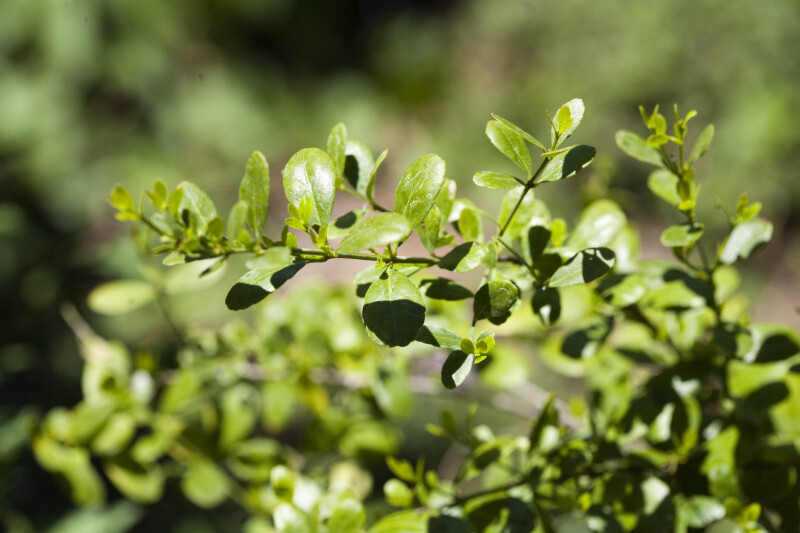 Maidenberry Leaves