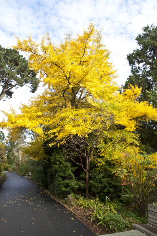 Maidenhair Tree on Side of Path