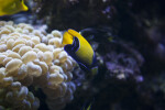 Majestic Angelfish and Anemone