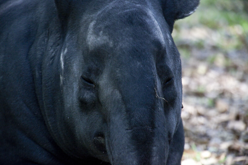 Malaysian Tapir Detail