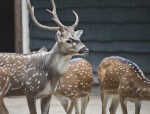 Male Axis Deer in Front of Females at the Artis Royal Zoo