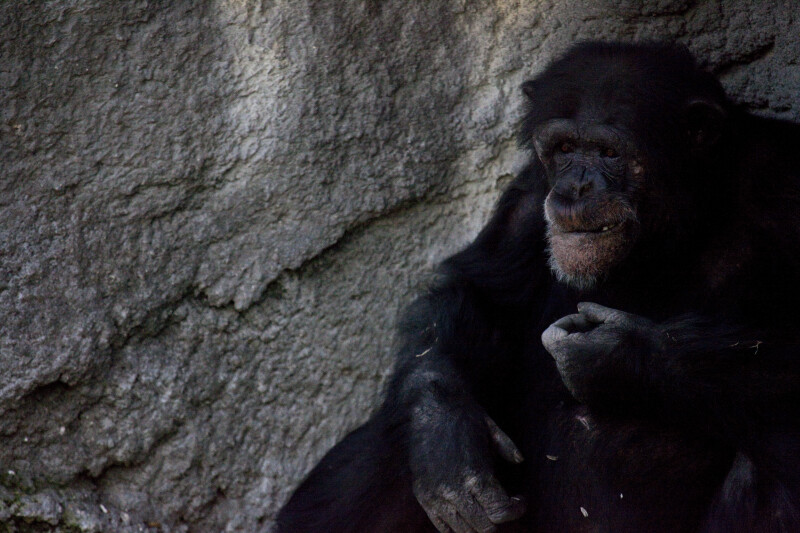 Male Chimpanzee Eating