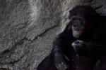 Male Chimpanzee Eating