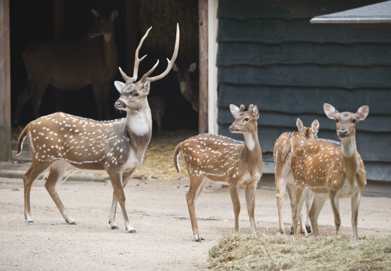 Male Chital and Three Females at the Artis Royal Zoo
