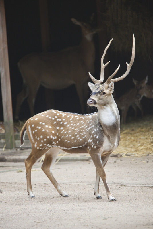 Male Chital at the Artis Royal Zoo