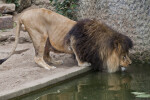 Male Lion Bending to Take Drink of Water at the Artis Royal Zoo